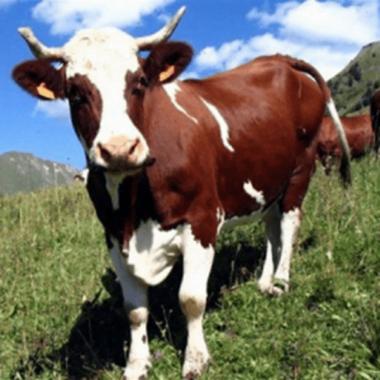 Від мешканців Корабельного району, які утримують молодняк великої рогатої худоби, приймаються заявки на дотацію з бюджету