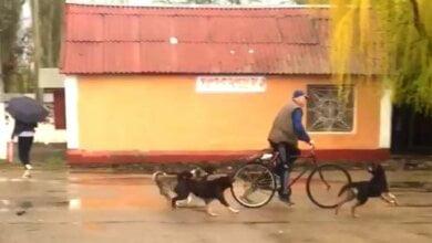 В Корабельном районе засняли на видео стаю бродячих собак, нападающих на прохожих возле детского сада   Корабелов.ИНФО