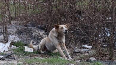 бродячая собака в Корабельном районе