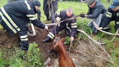 В Корабельном районе спасатели вызволили корову, угодившую в колодец   Корабелов.ИНФО