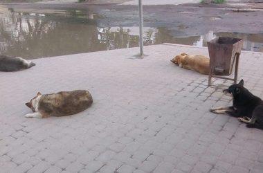 «Властью забытый район»: жители Кульбакино пожаловались на множество агрессивных бродячих собак и отсутствие дорог   Корабелов.ИНФО