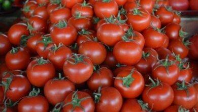 Зараженные помидоры попали и на Николаевщину. Из Турции в Украину завезли томаты с вредителем | Корабелов.ИНФО