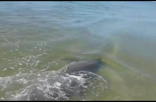 Шедевры природы: туристы засняли дельфина на Кинбурне в нескольких метрах от пляжа | Корабелов.ИНФО