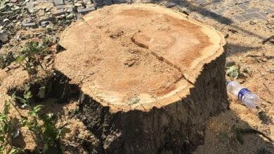 Photo of Здоровые деревья помешали новой тротуарной плитке: такое вот «благоустройство» Корабельного района