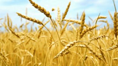 Photo of На Николаевщине уже намолотили 2 млн тонн зерновых, из них почти почти 200 тыс. тонн — в Витовском районе