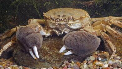 Опасные мохнаторукие китайские крабы захватывают Днепро-Бугский лиман - экологи бьют тревогу | Корабелов.ИНФО