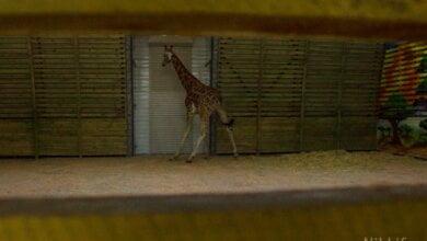 В Николаевский зоопарк прибыл второй самец жирафа (видео) | Корабелов.ИНФО
