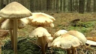 Photo of В Николаеве семья из пяти человек отравилась грибами (видео)