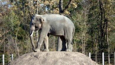 «Динкар и Шанти уже на украинской земле»: в ближайшее время в Николаевский зоопарк привезут двух слонов из Венгрии   Корабелов.ИНФО image 2