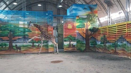 Photo of Появилось видео танцующего жирафа Нуру в Николаевском зоопарке