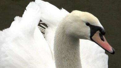 На реке в Николаеве поселились лебеди. ВИДЕО | Корабелов.ИНФО