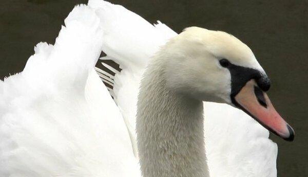 На реке в Николаеве поселились лебеди. ВИДЕО   Корабелов.ИНФО