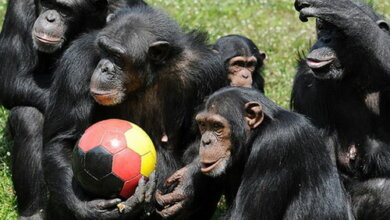 Photo of Николаевский зоопарк примет в дар для зверюшек разные мячи