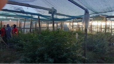 Photo of Николаевцы выращивали коноплю на дачном участке в Витовском районе – им грозит до 7 лет тюрьмы