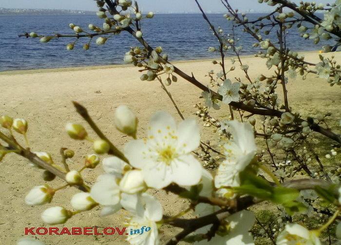 """цветущее дерево у пляжа """"Чайка"""", весна"""