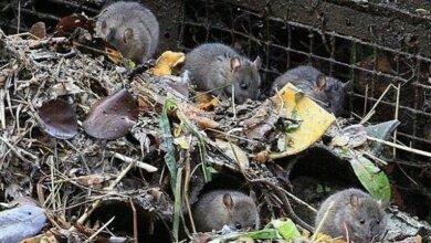 «Они стали полноценными соседями», - дом в Корабельном районе заполонили крысы | Корабелов.ИНФО