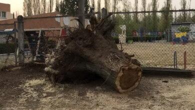 выкорчеванный пень возле детского сада по пр. Корабелов