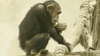 Photo of Не сидит без дела: малыш-шимпанзе Шерман очаровывает посетителей Николаевского зоопарка (Видео)