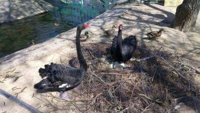 Photo of В Николаевском зоопарке у пары черных лебедей вылупился первый птенец (видео)