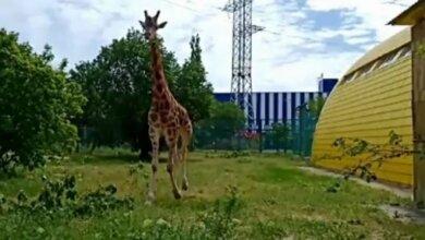 Photo of В Николаевском зоопарке жираф Логан вышел на прогулку во внешний вольер (видео)
