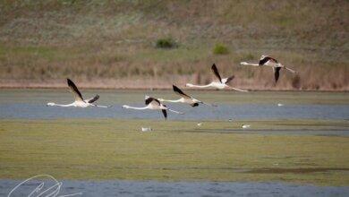 Фламинго (Фото Денис Сисин)