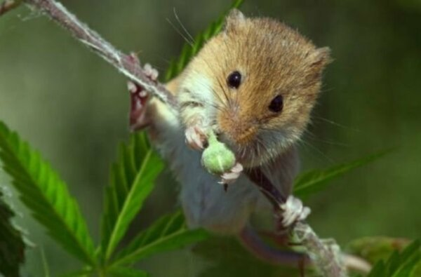 Невиновен: в Тернополе «мыши съели» вещдок - семь граммов марихуаны | Корабелов.ИНФО