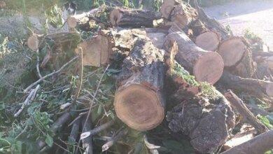 Photo of Экологи оценили ущерб от незаконного спила деревьев в Корабельном по указке райадминистрации