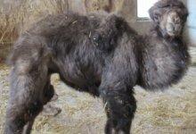 Photo of В Николаевском зоопарке родился верблюжонок