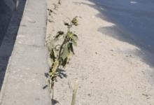 Photo of На аварийном мосту в Николаеве расцветают подсолнухи