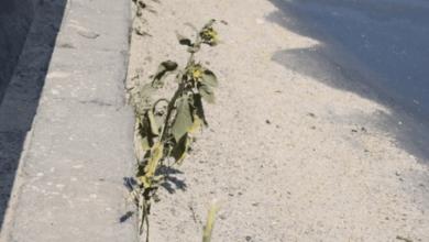 На аварийном мосту в Николаеве расцветают подсолнухи | Корабелов.ИНФО