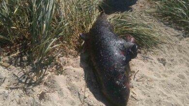 Photo of На берегу реки в Корабельном районе нашли мертвого дельфина (Видео)
