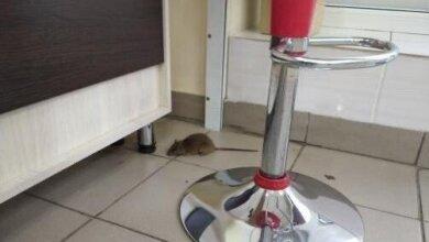 крыса в магазине