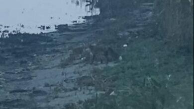 Photo of Видео лисьей охоты возле жилых домов снято в Корабельном районе