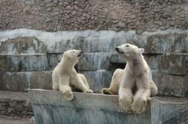 белые медведи в Николаевском зоопарке