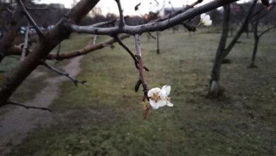 В Николаеве перед Новым годом зацвели деревья | Корабелов.ИНФО