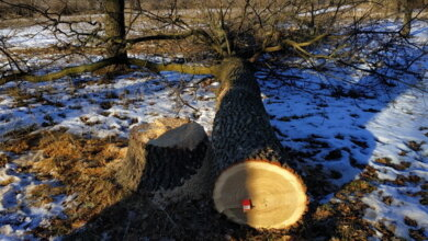 Уничтожают дубы: в Корабельном районе снова орудуют браконьеры | Корабелов.ИНФО image 1