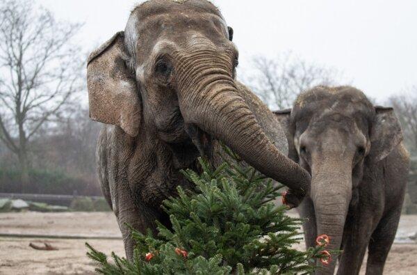 Николаевцев просят не выбрасывать новогодние ёлки, а отдать их в зоопарк на корм животным | Корабелов.ИНФО