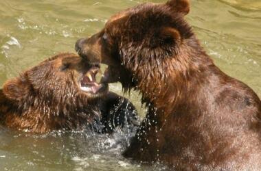 медведт