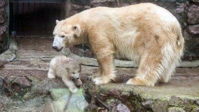 В Николаевском зоопарке белая медведица притворилась беременной | Корабелов.ИНФО