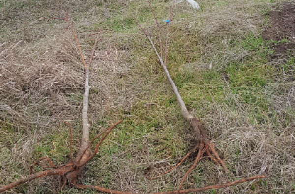 Варварськи вирвані чи зламані: у Корабельному районі понівечили нещодавно висаджені липи | Корабелов.ИНФО