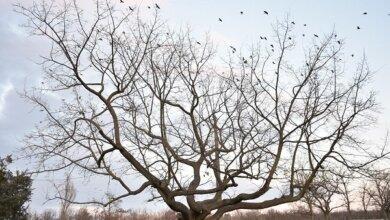 Дуб в Корабельном районе получит статус ботанического памятника природы и будет охраняться | Корабелов.ИНФО