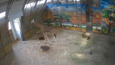 «Подглядеть» за жирафами в Николаевском зоопарке теперь можно через YouTube   Корабелов.ИНФО