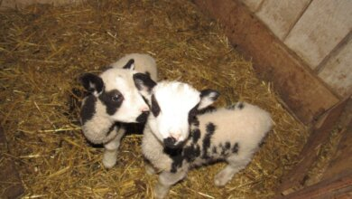 В николаевском зоопарке у овец святого Якова родились двое барашков | Корабелов.ИНФО image 2