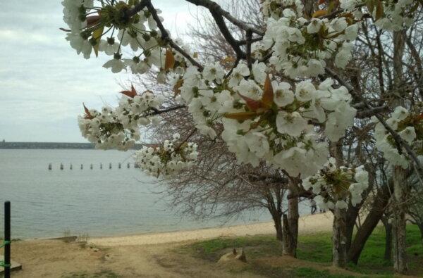 """цветущее дерево у пляжа """"Чайка"""", апрель 2021"""