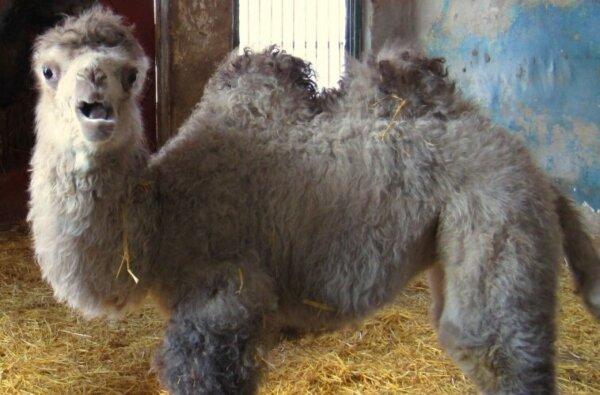 В николаевском зоопарке родился верблюжонок Джола | Корабелов.ИНФО