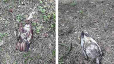 В Балабановском лесу выявили птичий грипп. Гибнут соколы и вороны (фото) | Корабелов.ИНФО