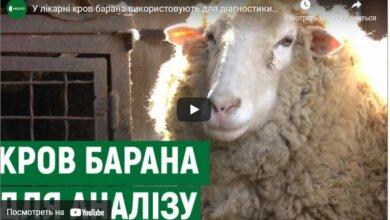 Барана зовут Федор: в больнице Корабельного района показали своего питомца (видео) | Корабелов.ИНФО
