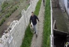 агрессивная собака алабай в Широкой Балке