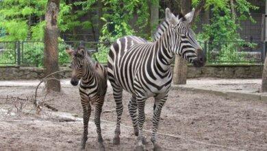 В Николаевском зоопарке пополнение - родился детеныш зебры | Корабелов.ИНФО