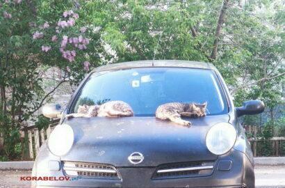 коты на машине